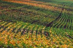 Les sillons rament le modèle avec la feuille d'érable orange et l'herbe verte sur le champ labouré par automne foncé Champ labour Photographie stock