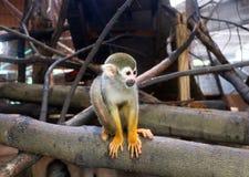 Les singes-écureuils photographie stock