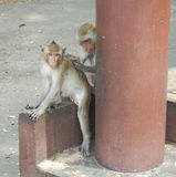 Les singes Photo stock