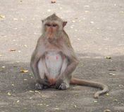 Les singes Images stock