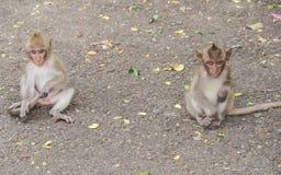 Les singes Photographie stock libre de droits