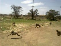Les singes d'Abha images libres de droits