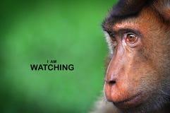 Les singes d'expression du visage reflètent le comportement humain Images stock