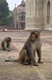 Les singes en Inde Photo libre de droits