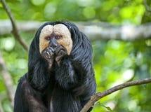 Les singes large-flairées sont les seuls primats vivant sur le continent américain, excepté des humains photographie stock