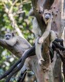 Les singes se reposent dans un arbre photo stock
