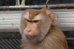 Les singes sont les animaux sauvages Photo stock