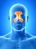 Les sinus Photos libres de droits