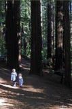 Les soeurs voyagent et des hausses dans les forêts géantes Nouvelle-Zélande de séquoia Images stock