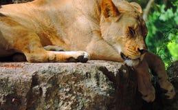 Les sommeils de lion Photo libre de droits