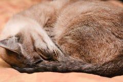 Les sommeils thaïlandais de chat se sont courbés dans une boule par temps givré Photographie stock