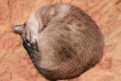 Les sommeils thaïlandais de chat se sont courbés dans une boule par temps givré Photo stock