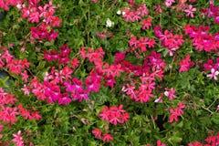 Les sorts de s'abaisse du pélargonium lierre-leaved dans diverses nuances de rose photo stock