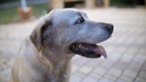 Les sourires de chien Le chien est prêt à jouer et attend le propriétaire banque de vidéos