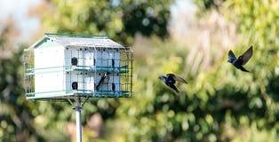 Les subis de Progne d'oiseaux de Martin pourpre volent et sont perché autour d'un birdhous Photographie stock