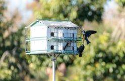 Les subis de Progne d'oiseaux de Martin pourpre volent et sont perché autour d'un birdhous Image stock