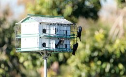 Les subis de Progne d'oiseaux de Martin pourpre volent et sont perché autour d'un birdhous Photographie stock libre de droits