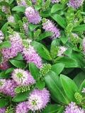 Les suppléments lilas de Hebe fleurit également connu en tant que ` arbustif s de Veronica images stock