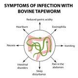 Les symptômes de l'infection sont ténia bovin Photographie stock