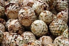 Les têtes d'agave ont fraîchement coupé Photo libre de droits