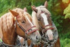 Les têtes de deux chevaux bruns Photos libres de droits