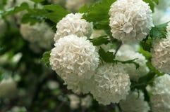 Les têtes de fleur de viburnum de boule de neige de Chinois sont neigeuses Floraison de belles fleurs blanches dans le jardin d'é Image stock