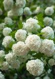 Les têtes de fleur de viburnum de boule de neige de Chinois sont neigeuses Floraison de belles fleurs blanches dans le jardin d'é Photos stock
