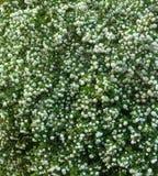 Les têtes de fleur de viburnum de boule de neige de Chinois sont neigeuses Floraison de belles fleurs blanches dans le jardin d'é Image libre de droits