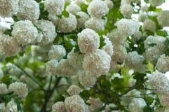 Les têtes de fleur de viburnum de boule de neige de Chinois sont neigeuses Floraison de belles fleurs blanches dans le jardin d'é Photo stock