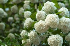 Les têtes de fleur de viburnum de boule de neige de Chinois sont neigeuses Floraison de belles fleurs blanches dans le jardin d'é Images libres de droits