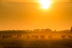 Les taureaux fonctionnant à travers le champ à la lumière du soleil Photos stock