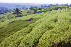 Les terrasses de riz Photographie stock libre de droits