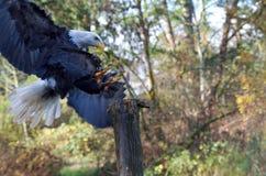 Les terres qualifiées d'Eagle chauve sur un courrier, serres se sont prolongées photographie stock