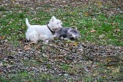 Les terriers blancs de montagne occidentale jouent en parc Image stock