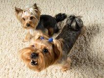 Les terriers de Yorkshire jouent dans la chambre, une écorce Photographie stock libre de droits