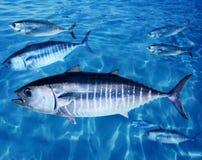 Les thons de thonine instruisent l'eau du fond Images libres de droits