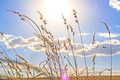 Les tiges de l'herbe photo stock