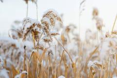 Les tiges du roseau sur le fond de neige tiges dans la neige image libre de droits