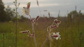 Les tiges et l'herbe sèche de fleurs sur un fond brouillé au coucher du soleil banque de vidéos