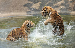 Les tigres apprécie l'eau par temps chaud Photo stock