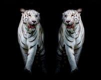 Les tigres blancs jumeaux marchent ont isolé sur le fond noir photos stock