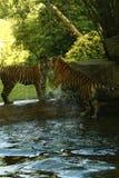 Les tigres d'une manière éblouissante beaux d'Amur jouant dans l'eau Images libres de droits