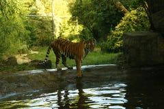 Les tigres d'une manière éblouissante beaux d'Amur jouant dans l'eau Photo libre de droits