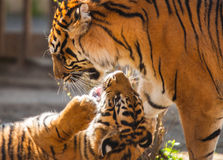Les tigres jouent Images libres de droits