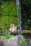Les tigres sibériens se reposent sur la pierre image libre de droits