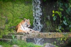 Les tigres sibériens se reposent sur la pierre photographie stock