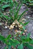 Les tiliae de Mimas chaulent la faucon-mite se reposant sur l'herbe, la terre trouble images stock