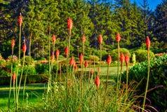 Les tisonniers d'un rouge ardent ont fleuri au parc d'état d'acres de rivage en Orégon photos stock