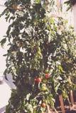 Les tomates-cerises plante l'élevage dans un jardin de toit urbain Image libre de droits