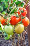 Les tomates fraîches accrochent sur la tige dans le jardin Images stock